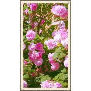 Rosas, belleza al natural